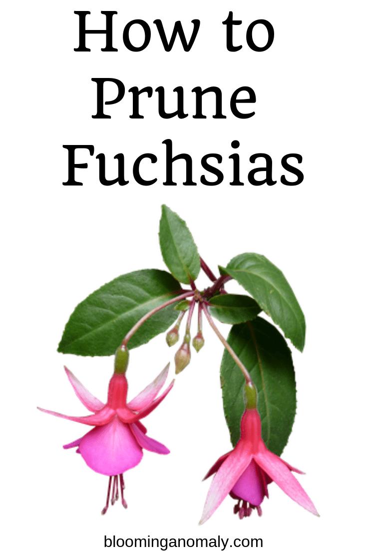how to prune fuchsias, pruning fuchsias