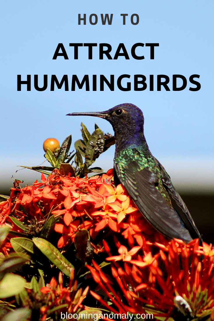 how to attract hummingbirds, hummingbirds