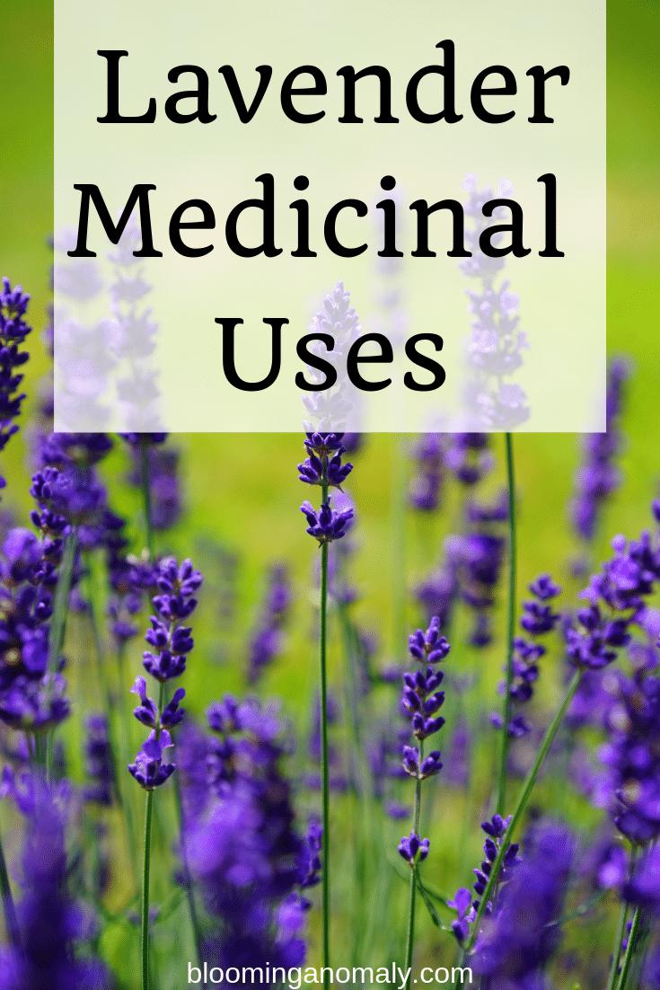 lavender medicinal uses, lavender plant