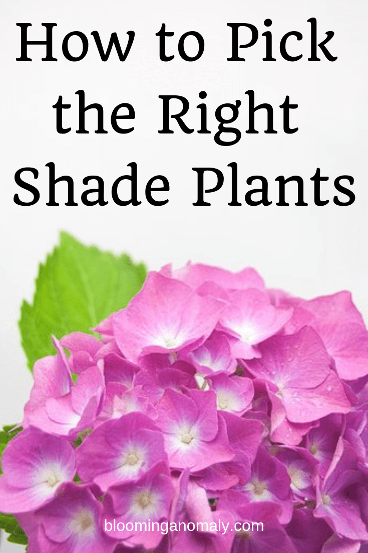 how to pick the right shade plants, hydrangeas, pink hydrangeas