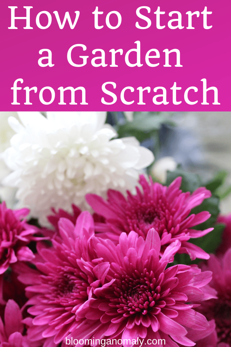 how to start a garden from scratch, mums, chrysanthemums