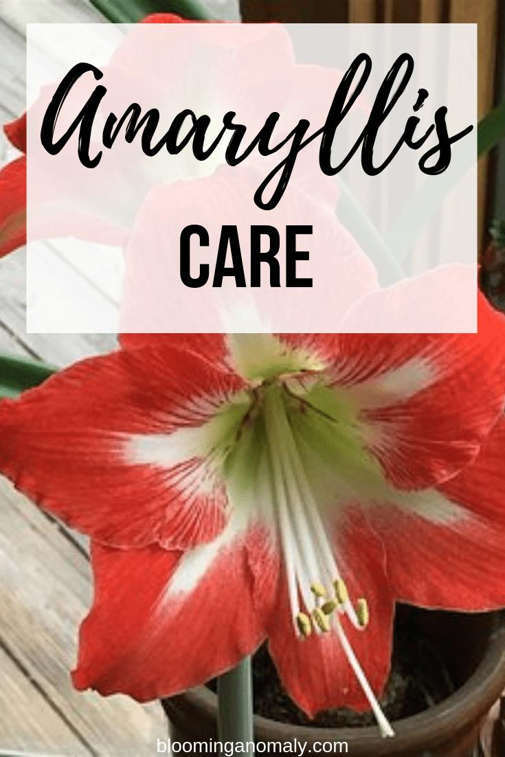 amaryllis care