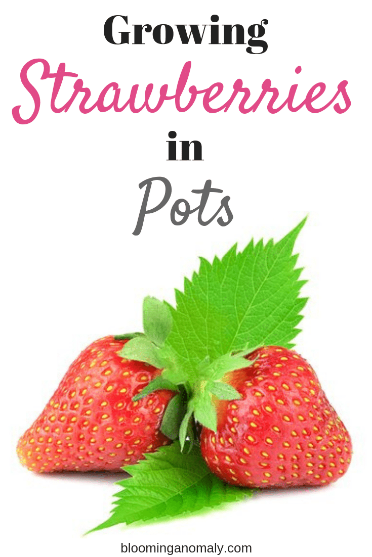 growing strawberries in pots