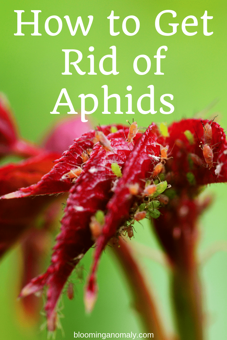 how to get rid of aphids, aphids