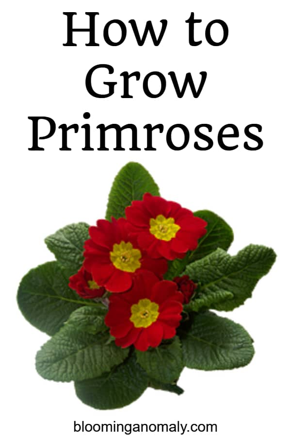 how to grow primroses