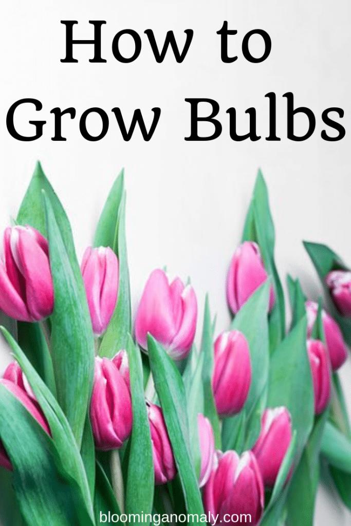 how to grow bulbs, tulip bulbs, tulip flowers, flower bulbs