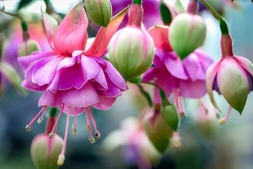 annuals and perennials, flowers, fuchsias, what is the difference between annuals and perennials