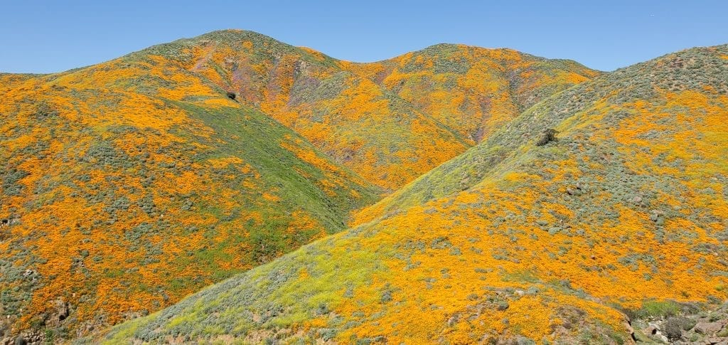 wildflower superbloom