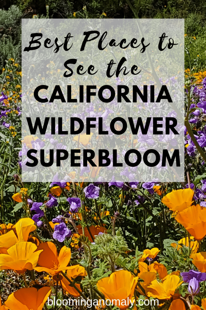 5 of the best places to see california's wildflower superbloom, wildflower superbloom, wildflower, wildfflowers, superbloom