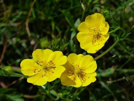 plants to grow in spring, rock roses,