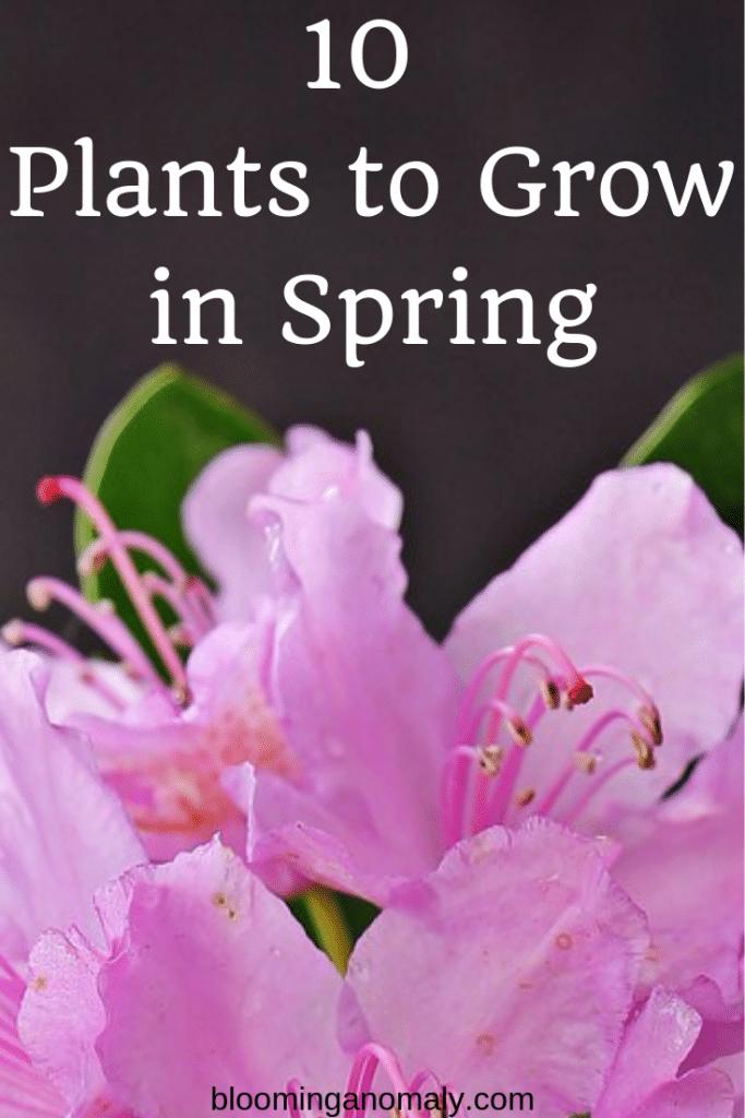 10 Plants to Grow in Spring, spring plants, spring flowers, azaleas