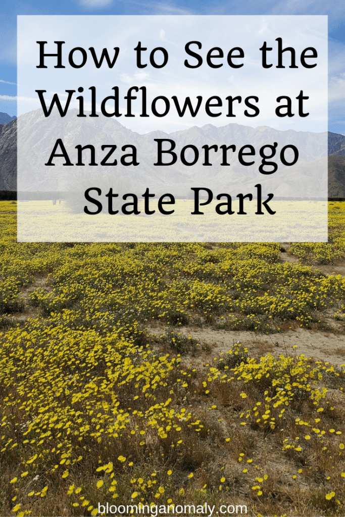 anza borrego state park, wildflower, superbloom