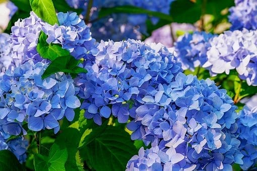 10 plants to grow in spring, hydrangeas, spring plants, spring flowers