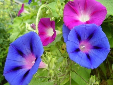 plants to grow in spring, morning glories