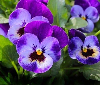 10 plants to grow in spring, pansies, spring flowers, spring plants