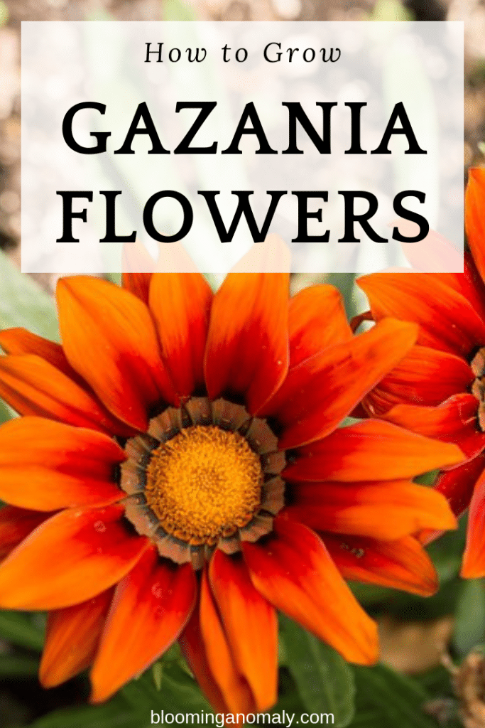 how to grow gazania flowers, gazanias