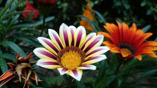how to grow gazania flowers, gazania, shades of pink