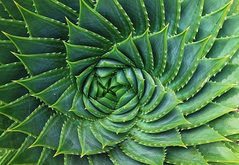 rare succulents, Aloe Polyphylla, aloe, succulents