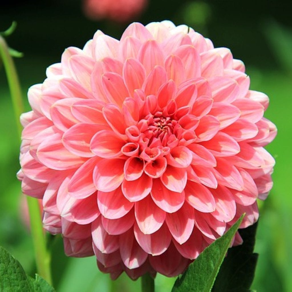 pink flowers, giving your garden a touch of pink flowers, pink flower, dahlia, pink dahlia