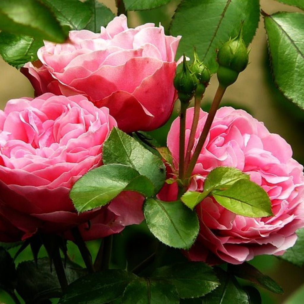pink flowers, giving your garden a touch of pink flowers, pink flower, peonies, pink peonies