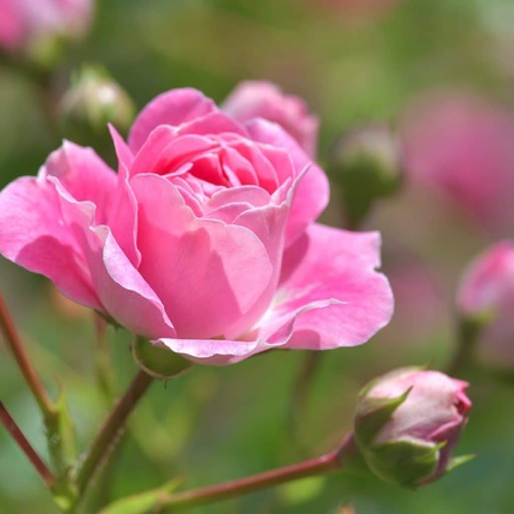 pink flowers, giving your garden a touch of pink flowers, pink flower, rose, pink rose, roses, pink roses