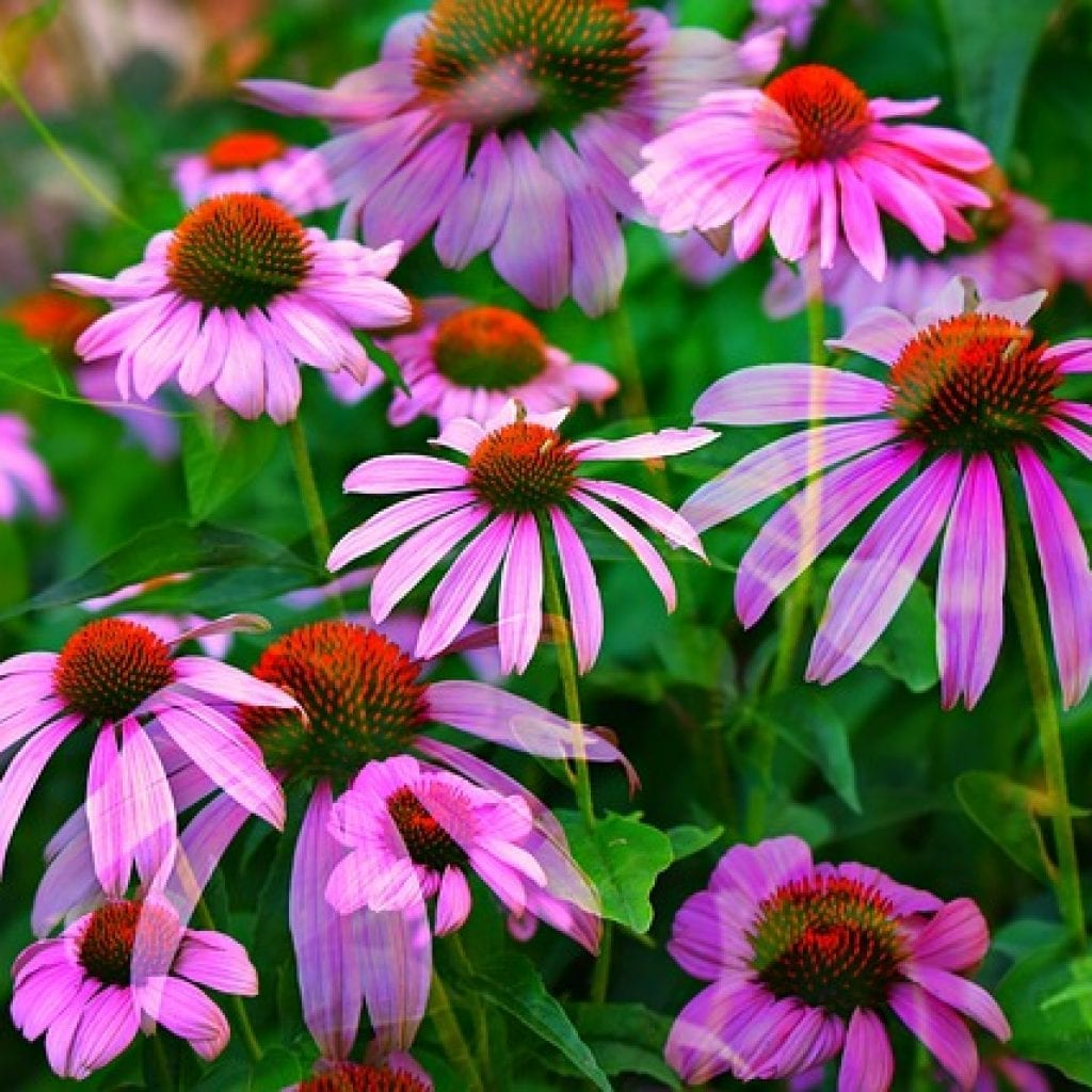 pink flowers, giving your garden a touch of pink flowers, pink flower, conflowers, pink conflowers