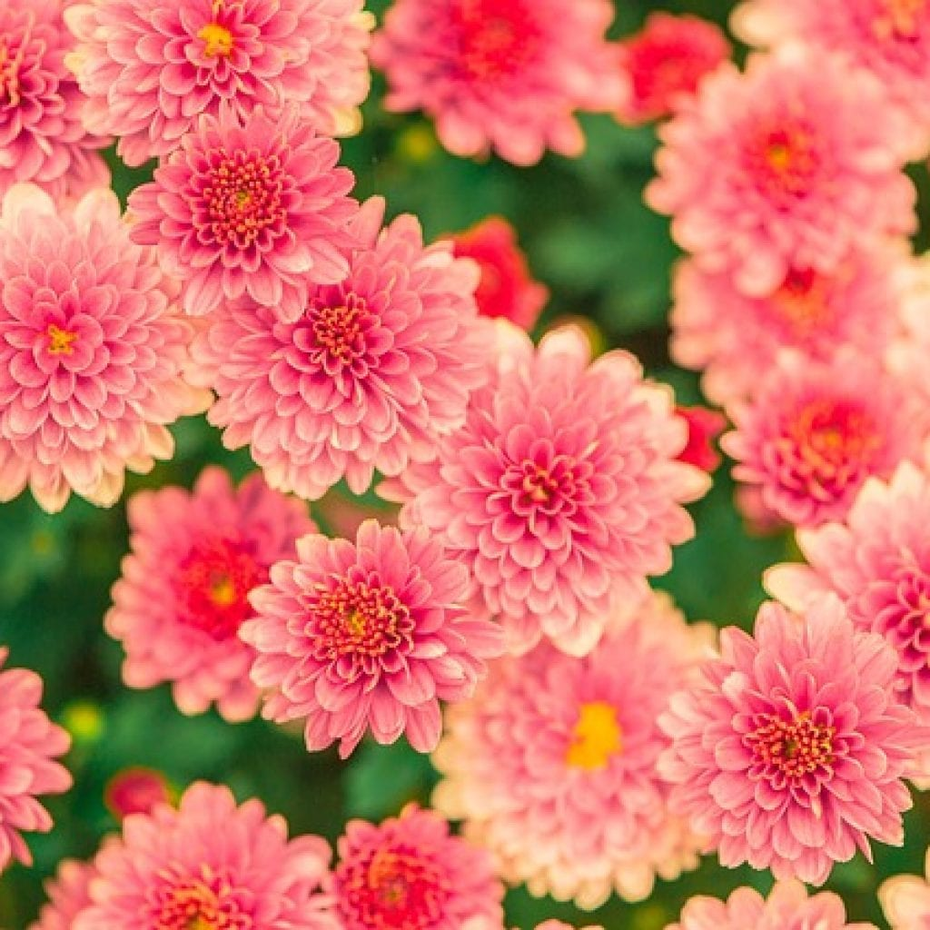 pink flowers, giving your garden a touch of pink flowers, pink flower, dahlias, pink dahlias
