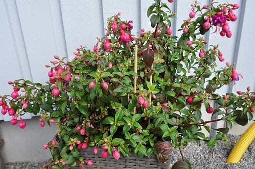 how to grow the incredible fuchsia plant, fuchsias, fuchsia flower