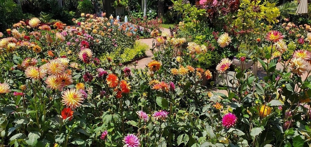 sherman library and gardens, central garden, dahlias