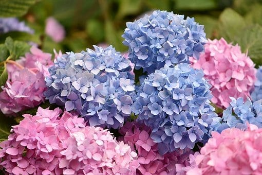 how to plant hydrangeas