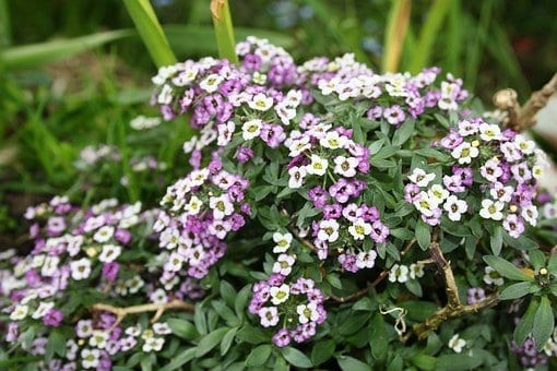 sweet alyssum, fall garden