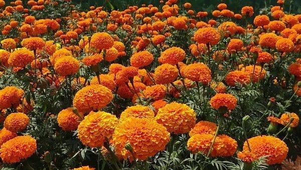 marigold, fall plants