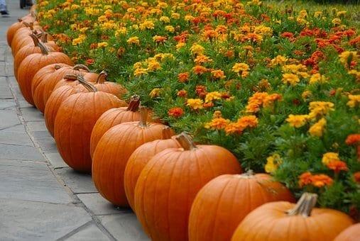 chrysanthemums, mums, fall flowers, orange
