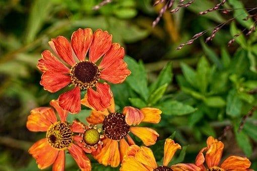 helenium, orange flowers