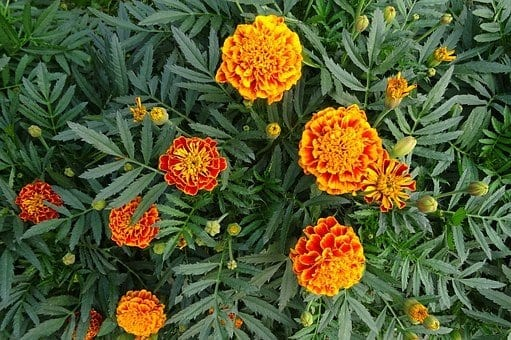 companion planting, french marigolds