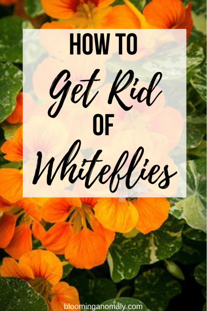 how to get rid of whiteflies