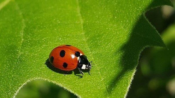 lady bug, natural enemy, how to get rid of whiteflies
