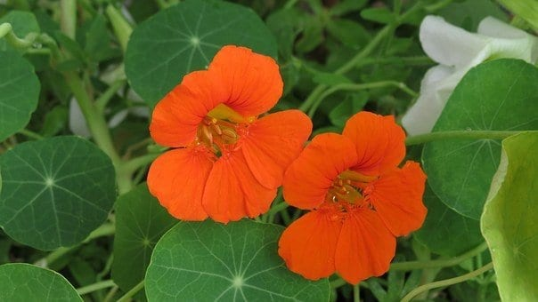 nasturtium, how to get rid of whiteflies