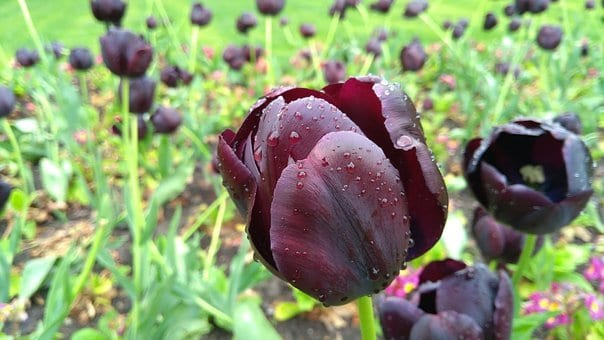 queen of night tulips