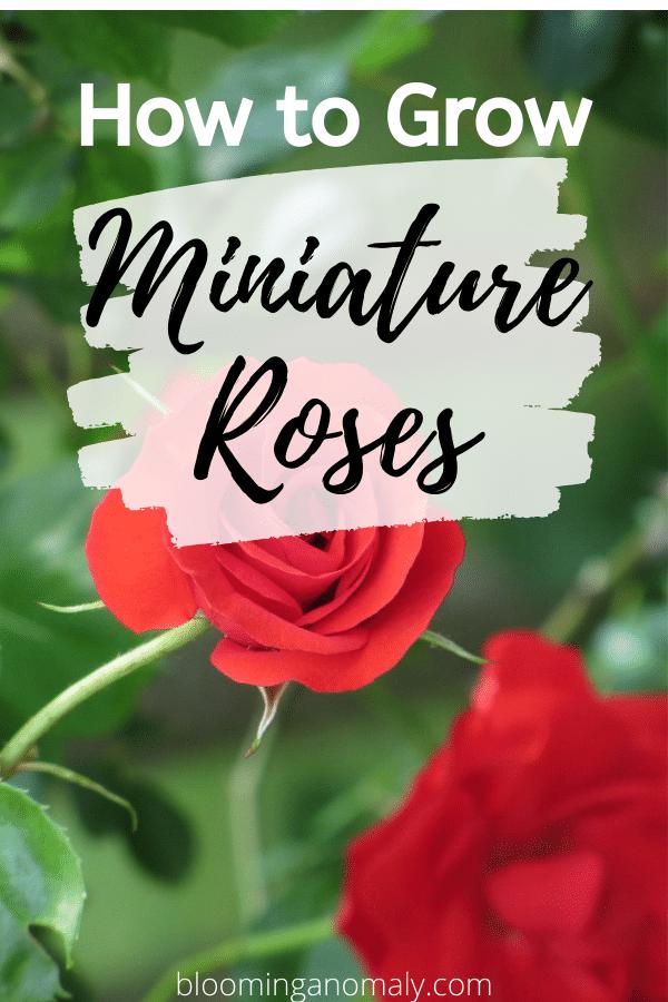 grow mini roses
