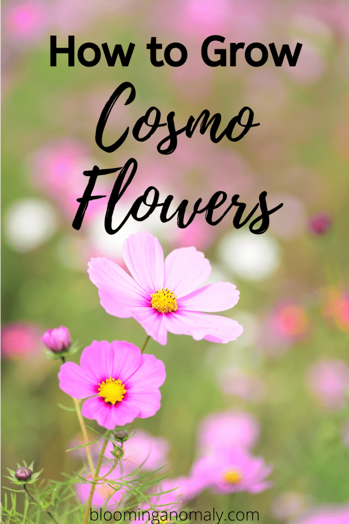 how to grow cosmo flowers