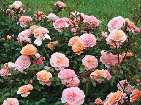 how to grow miniature roses