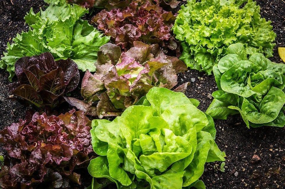 victory garden lettuce
