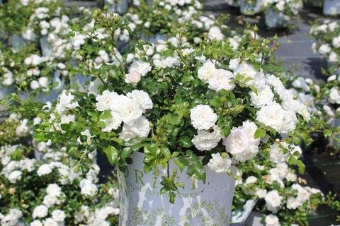 white miniature roses (2)