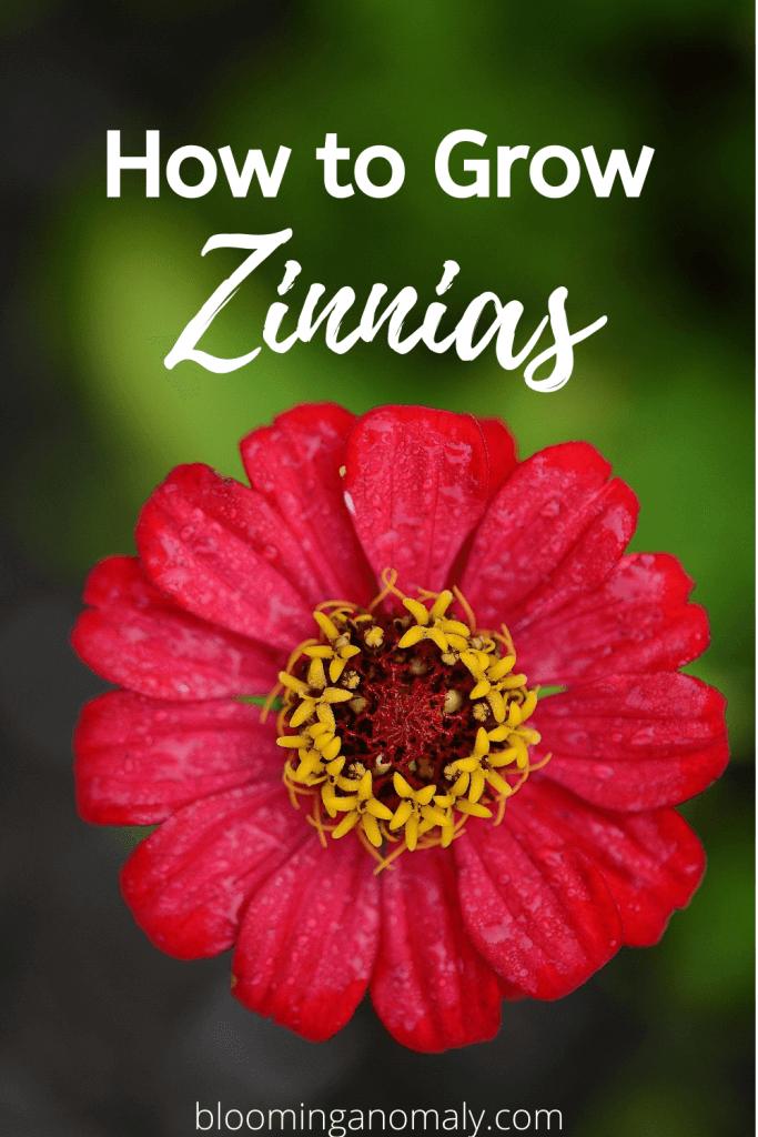 how to grow zinnias